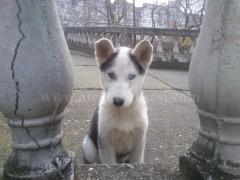 Shes qenin Husky