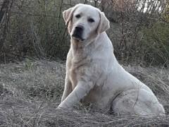 Shes qenin raca Labrador